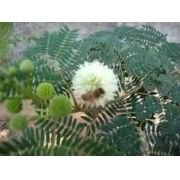 Sementes De Leucena Leucaena Leucocephala Forragem Apicola