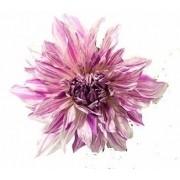 Bulbos De Dálias Cactus Duas Cores Branca Com Rosa Gigante