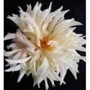 Bulbos De Dálias Cactus Branca Dahlia Gigante