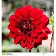 Bulbos De Dálias Dobradas Vermelhas Dahlia Gigante