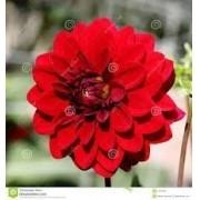 Bulbos De Dálias Dobradas Vermelhas Dahlia Gigantes