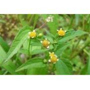 Sementes De Picão Branco Galinsoga Parviflora Chá Medicinal