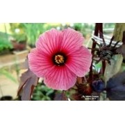 Sementes De Hibisco Acetosella Rosélia Hibiscus Acetosella Falsa Groselha Cranberry Hibisco Roxo