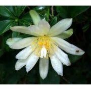 05 Mudas De Ora Pro Nobis Apicola Flor Pereskia Aculeata Orabrobó, Lobrobó Lobrobô Flor Branca Carne de Pobre Trepadeira Limão
