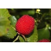 Mudas De Morango Silvestre Rubus Rosifolius Amora Vermelha