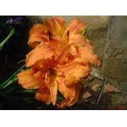 Mudas Lirios De São José Lírio Laranjado Hemerocallis Bulbos tipo 42 - temos mais 40 cores
