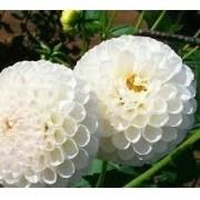 Bulbos De Dálias Pompom Branca Dahlia Variabilis - Raridade