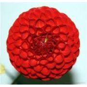 Bulbos De Dálias Pompom Vermelha Dahlia Variabilis