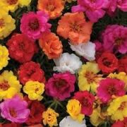 Sementes De Onze Horas DOBRADA 1.500 Portulacas Grandiflora DOBRADA