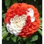 Bulbos De Dálias Pompom Duas Cores Vermelha Dahlia