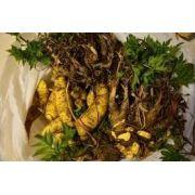 25 Mudas De Batata Baroa Mandioquinha Salsa Amarela Cenourinha amarela Arracacia xanthorrhiza