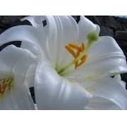 Mudas De Lirio Branco Lilium Candidum Longiflorum Cajado São José Bulbos