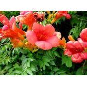 Mudas Da Trepadeira Trombeta Chinesa Vermelha Campsis Grandiflora Trepadeira Trombeta Flava