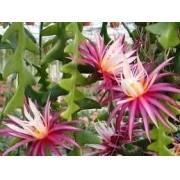 Kit De 06 Mudas De Dama Da Noite 06 Cores Epiphyllum Oxypetallum, Pegasus, Flirtation, Kirsten, Muffet e Cryptocereus anthonyanus