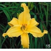 Mudas De Lirio Do Dia Hemerocallis Canario Bulbos Belli 15