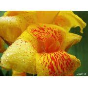 Bulbos de Cana Da Índia Amarela Rajada Canna Indica Biri Matiz