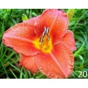 Mudas De Lirio Do Dia Hemerocallis Coralina Bulbos Belli 20