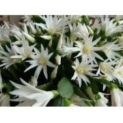 MudaS De Flor De Outubro Branca Hatiora Rosea Flor de Natal