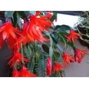 Mudas De Flor De Outubro Vermelha Hatiora Rosea Flor de Natal