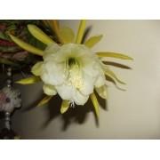 Kit De 06 Mudas De Cacto Orquídea 06 Cores Epiphyllum Cactos orquídea
