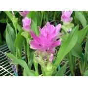 Cúrcuma Zedoaria Gaditsu  Mudas de Turmeric Kentjur Flor Rosa
