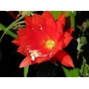 Mudas Jovens De Dama Da Noite Vermelha Epiphyllum Ackermani Belli Bulbos