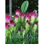 Cúrcuma Alimastifolia Pink Mudas de Açafrão da Conchinchina Tulipa do Sião