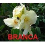 Bulbos Cana Da Índia Branca Canna Indica White Biri Bananeirinha Raridade