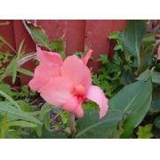 Bulbos De Cana Da Índia Rosa Canna Brejo Biri Bananeirinha