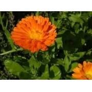 Sementes De Calendula Officinalis 35 unidades de Calêndula