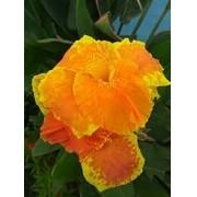 Bulbos Cana Da Índia Yellow Orange Canna Indica Biri Bananeirinha
