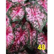 Bulbos De Caládio Caladium Rosa Pink 48 Caládio Tinhorao Belli Plantas