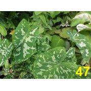 Bulbos De Caládio Onça Caladium  47 Tinhorão Coração De Jesus Taia Xanthosoma Maculata