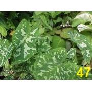 Bulbos De Caládio Militar Onça Caladium  47 Tinhorão Coração De Jesus Taia Xanthosoma Maculata praetermissum 'Hilo Beauty