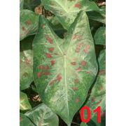 Bulbos De Caladium Vert Green-Red 01 Caládio Tinhorao Belli Plantas