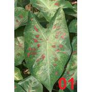 Bulbos De Caladium Vert Green-Red 01 Caládio Tinhorao Belli Plantas