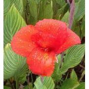 Bulbos de Cana Da Índia Variegata Vermelha Canna Brejo Biri Bananeirinha