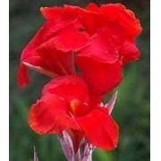 Bulbos de Cana Da Índia Vermelha Dobradas Canna Brejo Biri Bananeirinha