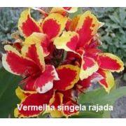 Bulbos de Cana Da Índia Vermelha Rajada Canna Biri Bananeirinha