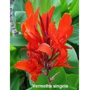 Bulbos de Cana Da Índia Vermelha Singela Canna Brejo Biri Bananeirinha