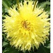 Bulbos De Dálias Amarelo Ouro Picotee Dahlia Gigante