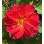 Bulbos De Dálias Dobradas PURPURA Gigante Flores Mudas De Jardim