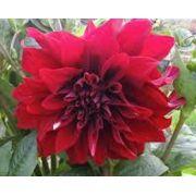 Bulbos De Dálias Vermelha tipo Anêmona Dahlia Pinnata Variabilis