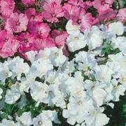 Sementes De Lavatera Sortidas Malva Real Rosa Flor De Bispo