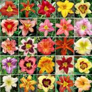 Mudas De Lirios Do Dia 32 cores Líros de São Jose Bulbos Bulbos e Mudas de Hemerocallis