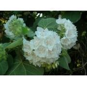 Sementes De Astrapéia Branca Dombeya Natalensis Flor para mudas