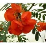 Sementes De Glicinea VERMELHA, BRANCA ou AMARELA Sesbania Punicea Glicinia Amarela Ouro Espanhol Sesbania Sesban Glicinea Branca Sesbania Grandiflora