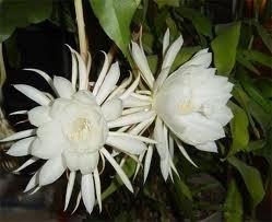 Dama Da Noite Branca Cactos Orquídea Epiphyllum Oxypetallum Rainha Noite  - BELLI PLANTAS
