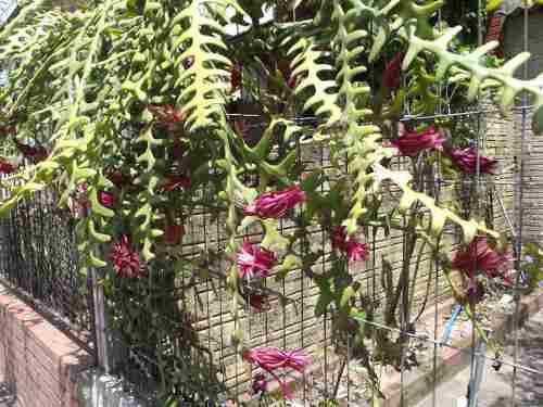 Mudas De Dama Da Noite Sianinha Cryptocereus Epiphyllum Selenicereus anthonyanus Cactos orquídea Sete Cores Cactos Sianinha Zig-zag  - BELLI PLANTAS