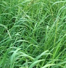 Sementes De Citronela Evita Mosquitos Cymbopogon Winterianus  - BELLI PLANTAS